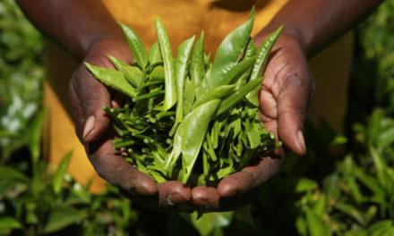 Lipton & Rainforest Alliance