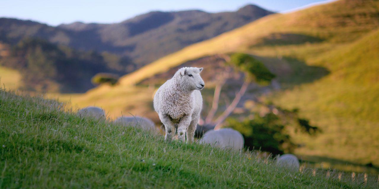 L'agneau : une délicatesse