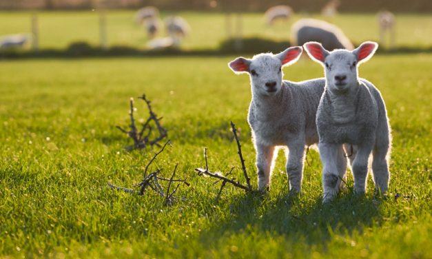 Un bel avenir pour l'agneau